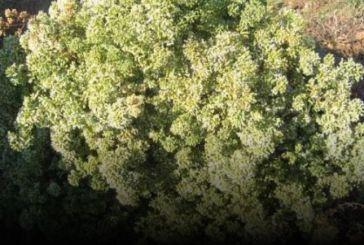 Ορεινή Ναυπακτία: Δικογραφία σε βάρος τριών ατόμων που μάζευαν ρίγανη