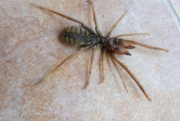 Και στο Αγρίνιο η αράχνη-σκορπιός; (φωτό)