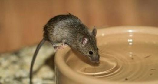 Αναστάτωση για τα ποντίκια στο δίκτυο ύδρευσης του Γαλατά