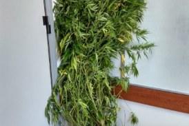 Aγρίνιο: 37χρονος καλλιεργούσε χασίς δίπλα στο…κρεβάτι του