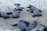 Χελωνάκια Καρέτα Καρέτα στη Λυγιά Πρέβεζας (video)