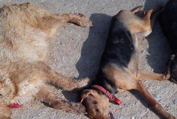 Θανάτωση κυνηγετικών σκυλιών με φόλες κατήγγειλε 54χρονος στο Τρίκλινο Βάλτου