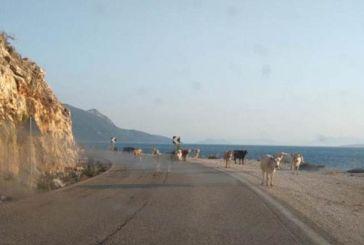 Κίνδυνος από ανεπιτήρητα ζώα στον δρόμο Πάλαιρος- Μύτικας