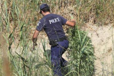 Μεσολόγγι: εντοπίστηκε μίνι χασισοφυτεία σε ρέμα-χειροπέδες σε 60χρονο