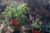 Αγρίνιο: χειροπέδες σε άνδρα που καλλιεργούσε χασίς στο σπίτι του