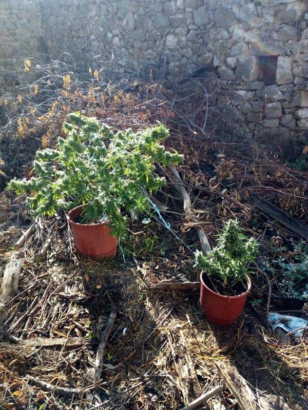Ένας ακόμη νεαρός στο Αγρίνιο καλλιεργούσε χασίς σε γλάστρες