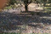 Οι ελιές έπεσαν από τα δέντρα στο Μεσολόγγι αλλά ο ΕΛΓΑ ακόμα να καταγράψει τις ζημιές