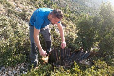 Μέσω Κροατίας ο εντοπισμός πομπού από νεκρό όρνιο στα Ακαρνανικά Όρη