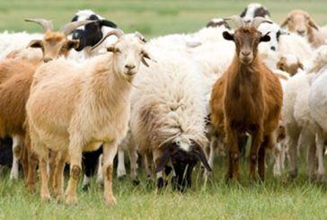 Πληρωμές 3,2 εκατ. ευρώ σε 660 δικαιούχους για τις σπάνιες φυλές αγροτικών ζώων