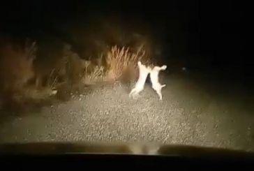 Απίθανο βίντεο με λαγούς στο ορεινό Θέρμο