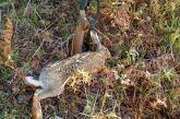 Aιτωλοακαρνανία: δύο συλλήψεις για παράνομο κυνήγι λαγού
