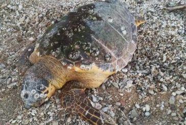 Μία ακόμη νεκρή θαλάσσια χελώνα στην παραλία της Βόνιτσας (φωτο)