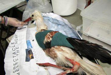 Κυνηγοί τραυμάτισαν σπάνιο πελαργό στο Μεσολόγγι