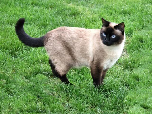 Αγρίνιο: Βρέθηκε γάτος Σιάμ στην Φιλελλήνων – Αναζητείται ο ιδιοκτήτης