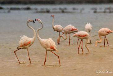 «Βουτιές» με τα ροζ φλαμίνγκο στη λιμνοθάλασσα Μεσολογγίου