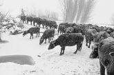 Παχυλές επιδοτήσεις για την εκτροφή βουβαλιών στην Ελλάδα