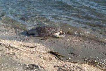 Νεκρή χελώνα Καρέτα- Καρέτα στο Μενίδι