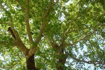 Μέτρα για τον περιορισμό του μεταχρωματικού έλκους του πλατάνου στην Τριχωνίδα