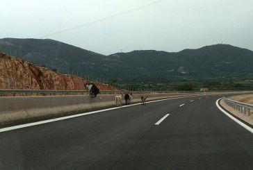 Με ασφάλεια κυκλοφορούν πλέον οι… κατσίκες στον νέο δρόμο Άκτιο – Βόνιτσα (φωτο)