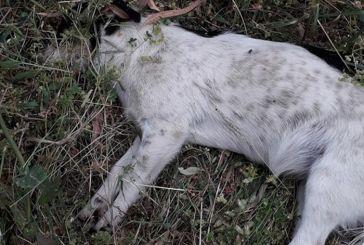 Νεκρά από φόλες έξι σκυλιά στο Μεσολόγγι (φωτο)