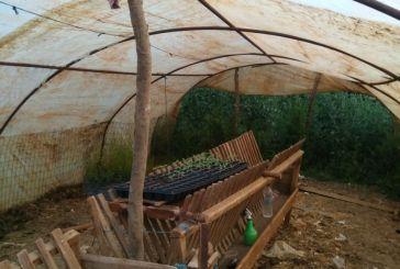 Αποκαλύψεις της Αστυνομίας για το θερμοκήπιο του χασίς στην Κονοπίνα
