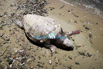Νεκρή χελώνα καρέτα καρέτα στην παραλία του Αντιρρίου