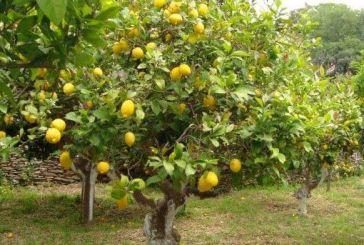 Κλέφτης…λεμονιών θα οδηγηθεί στον Εισαγγελέα Αγρινίου