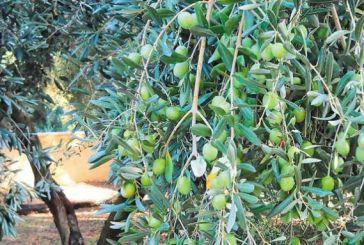 Αιτωλοακαρνανία: Μέτρια η καρποφορία των ελαιοδέντρων