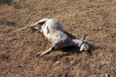 Καταγγελία βοσκού: Αδέσποτα σκυλιά κατασπάραξαν γίδες στο Παναιτώλιο (σκληρές εικόνες)