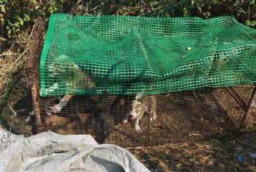 Καταγγελία: Εξαθλιωμένα και νηστικά κουτάβια μέσα στον καύσωνα στον Μύτικα (φωτο)