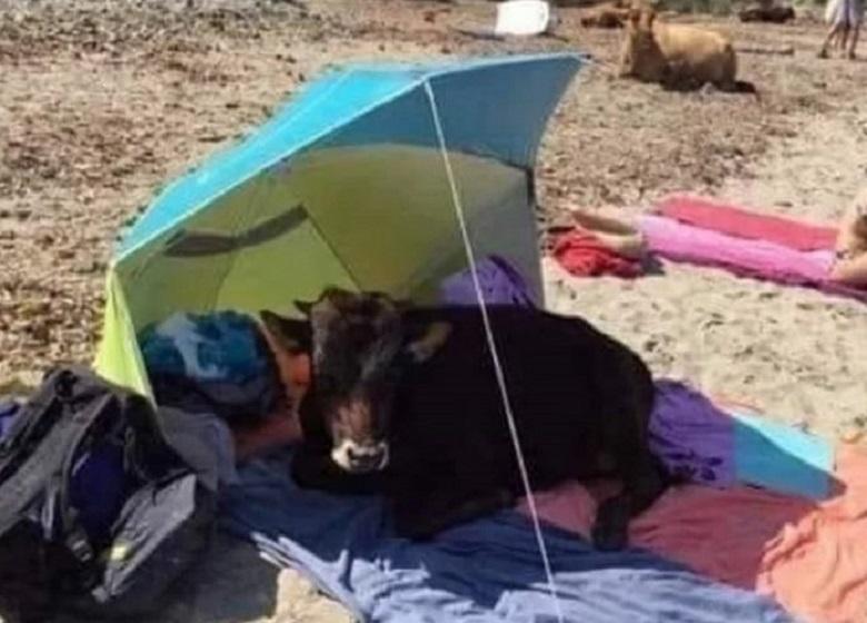 Το μοσχάρι που…άραξε σε πετσέτα λουόμενου σε παραλία της Αιτωλοακαρνανίας