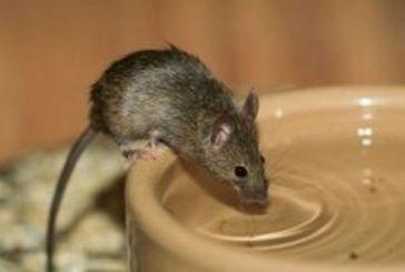 Βρέθηκε ποντίκι σε σωληνώσεις σπιτιού στο Χρυσοβέργι-«μη χρησιμοποιείτε το νερό» λέει η ΔΕΥΑΜ!