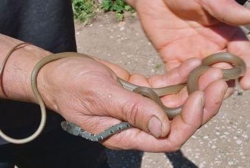 Φίδι σαΐτα: γρήγορο αλλά ακίνδυνο (βίντεο)
