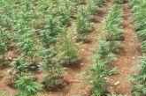 «Ορφανά» χασισόδεντρα στο Αιτωλικό βρήκε η αστυνομία
