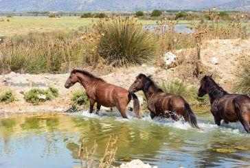 Χθεσινές εικόνες από τα σπάνια άγρια άλογα του υδρότοπου του Λούρου