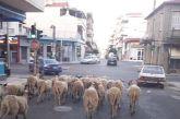 Όλο και πιο κοντά στο κέντρο του Αγρινίου τα πρόβατα…