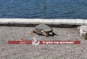 Νεκρή θαλάσσια χελώνα στο λιμάνι Μεσολογγίου