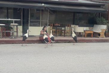 Εξοικειωμένοι οι πελαργοί με τους κατοίκους του Αγίου Νικολάου Βόνιτσας(φωτό)
