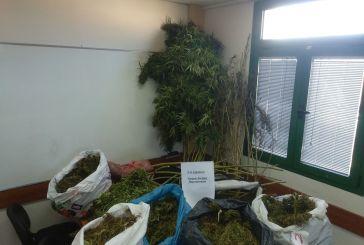 Επεισοδιακή επ΄ αυτοφώρω σύλληψη χασισοκαλλιεργητή στην περιοχή του Αγρινίου