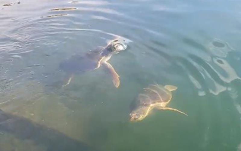 Θαλάσσιες χελώνες «χορεύουν» στο λιμάνι του Μεσολογγίου! (video)