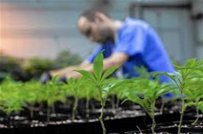 Aιτωλοακαρνανία: η πρώτη άδεια φαρμακευτικής κάνναβης είναι γεγονός