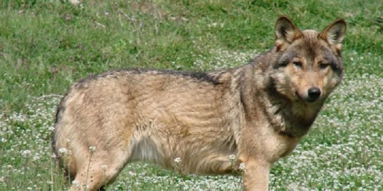 Οι λύκοι επέστρεψαν στην Ελλάδα