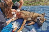 Η επιχείρηση απεγκλωβισμού της λύκαινας «Ελισάβετ» που καρφώθηκε σε καγκελόπορτα – Δείτε βίντεο
