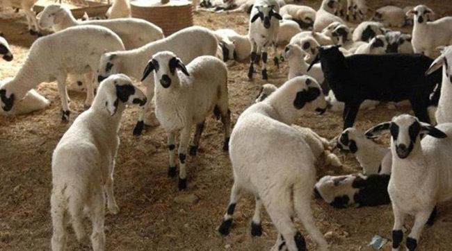 Έκλεψαν αρνιά από κτηνοτροφική μονάδα στο Σπάρτο Αμφιλοχίας