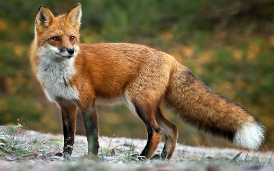 Συστάσεις στους πολίτες με αφορμή τον εμβολιασμό κόκκινων αλεπούδων