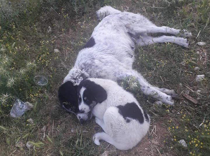 Άγνωστοι δηλητηρίασαν δύο σκυλιά στο Μοναστηράκι