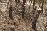 Αντιδράσεις για την κοπή πεύκων στο δασύλλιο των Αμοργιανών