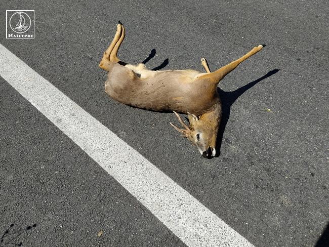 Τα άγρια ζώα κατέβηκαν στον αστικό ιστό – Νεκρό ζαρκάδι στην Αμφιλοχία