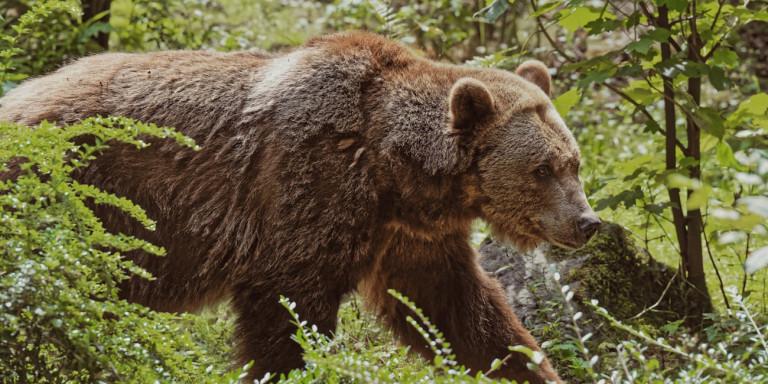 Καστοριά: Με βαριά τραύματα νοσηλεύεται νεαρός που πάλεψε με αρκούδα -Τον έσωσαν τα σκυλιά του