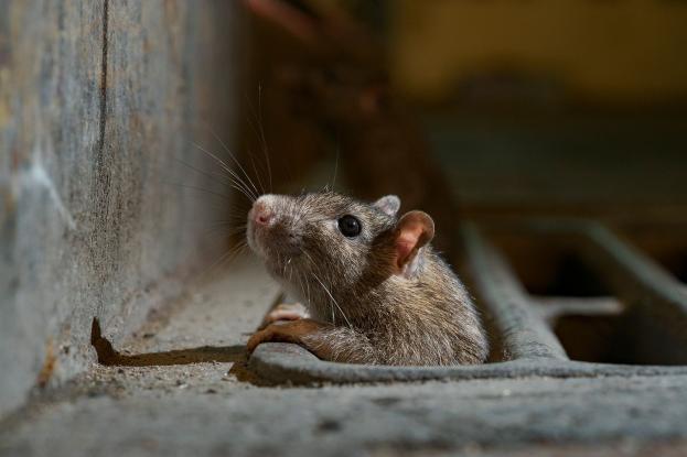 Aγρίνιο: Ανησυχία για την… επέλαση ποντικιών στην περιοχή του γηπέδου